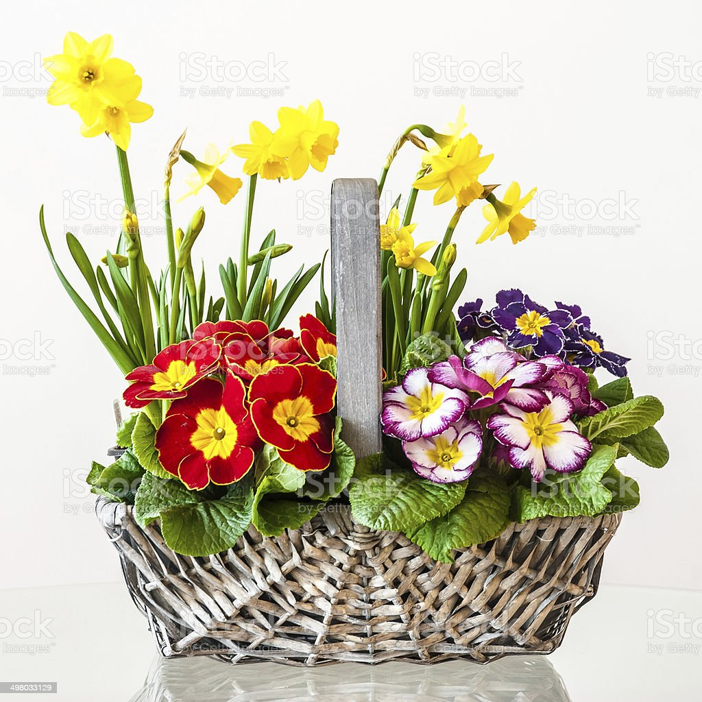 Primulas Basket Of Spring Flowers Stock Photo More Pictures Of