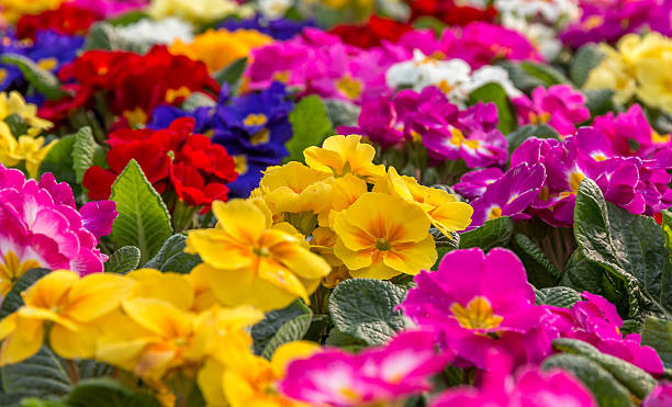 Primulas Central focus on a group of brightly colored Primroses perennial stock pictures, royalty-free photos & images
