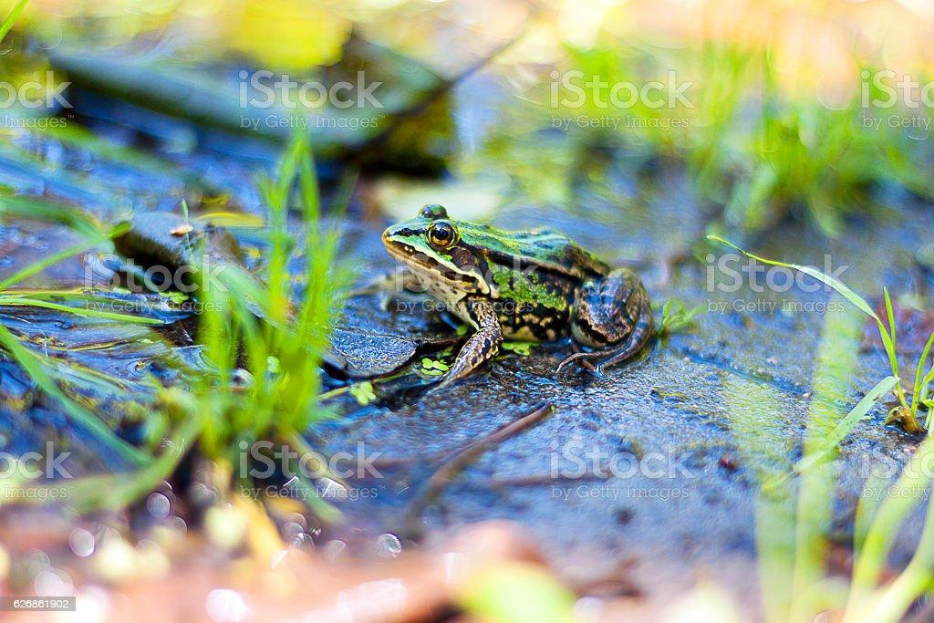 Prince turned into a frog – zdjęcie