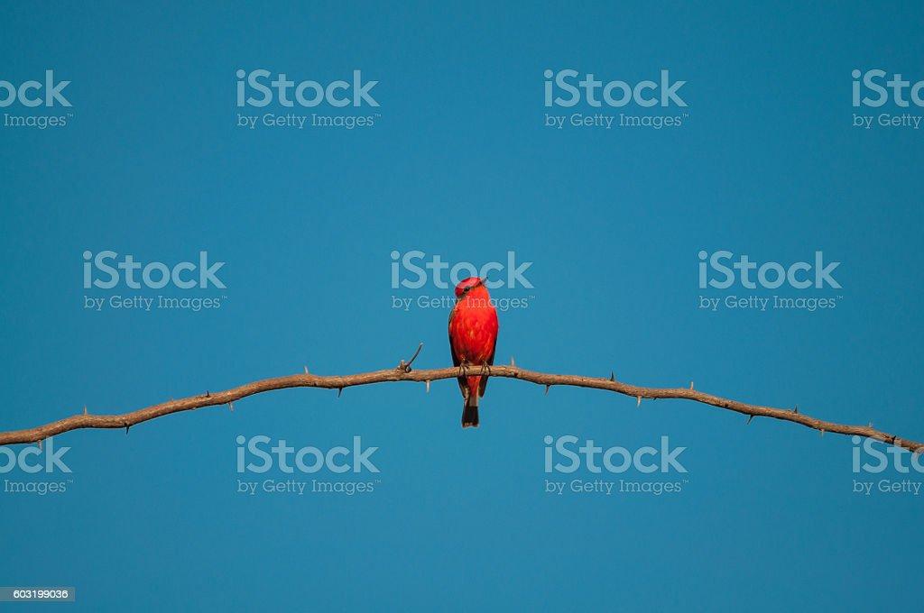 Principe do Pantanal bird perched on a branch - foto de acervo