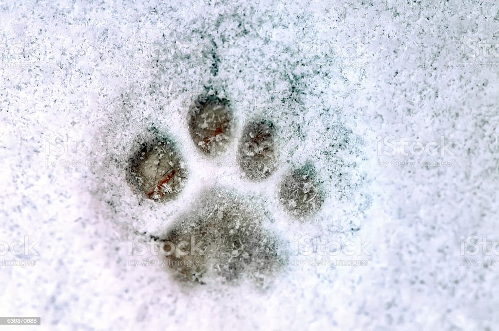 Print of a paw of a cat on white snow. Close up.