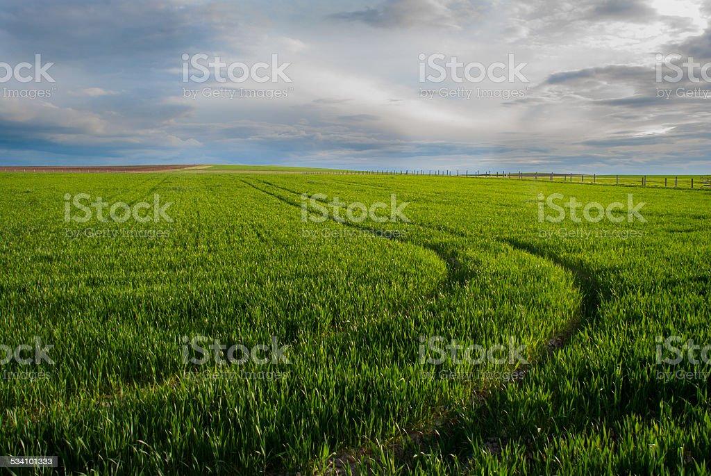 Prints in green wheat ears stock photo