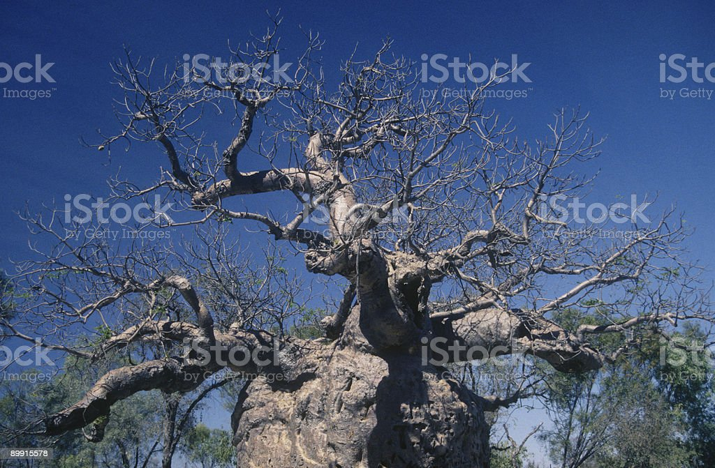 Prison boab tree near Derby in Western Australia royalty-free stock photo