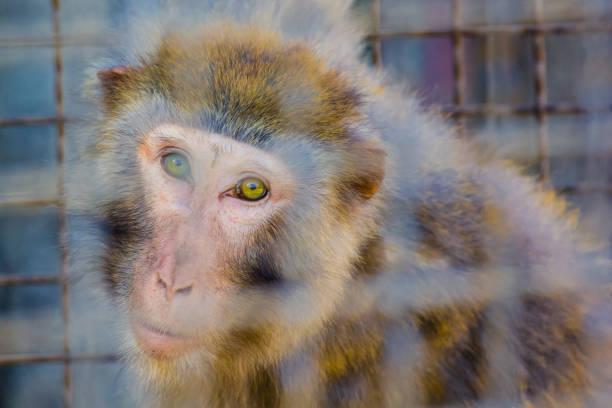prisoners - macaco foto e immagini stock