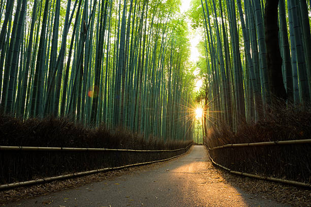 Pristine bamboo forest at sunrise圖像檔