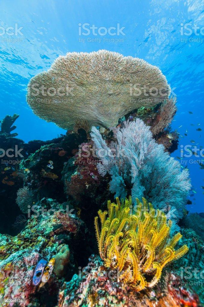 Pristine Coral Reef with Perfect Acropora Table Coral, Northeast of Gunung Api Island near Banda, Indonesia stock photo