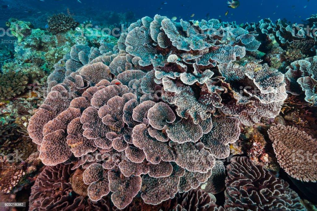 Pristine Hard Coral Reef, Gunung Api Island near Banda, Indonesia stock photo