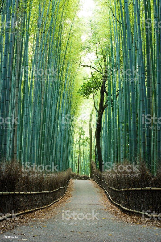 Foresta di bambù naturale incontaminata - foto stock