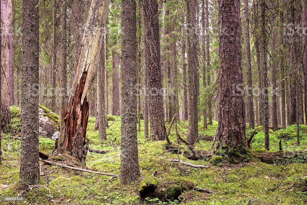 Pristine northern forest stock photo
