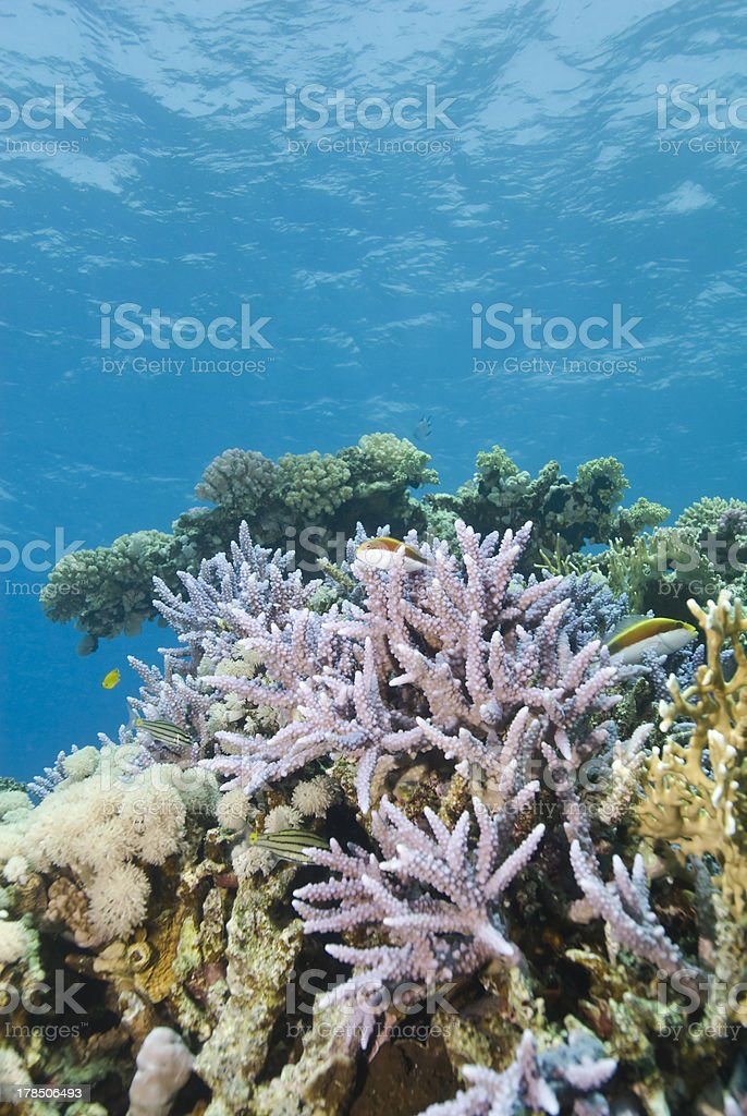 Pristine Staghorn coral formation with blue background stock photo