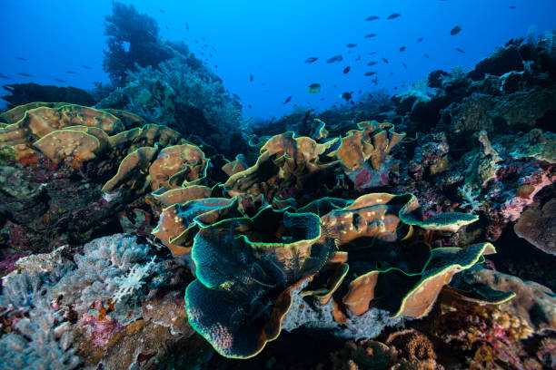 Pristine Untouched Hard Coral Reef at Manuk Island, Indonesia stock photo