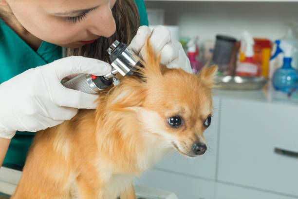 Pritty dog getting a checkup at the veterinarian office stock photo