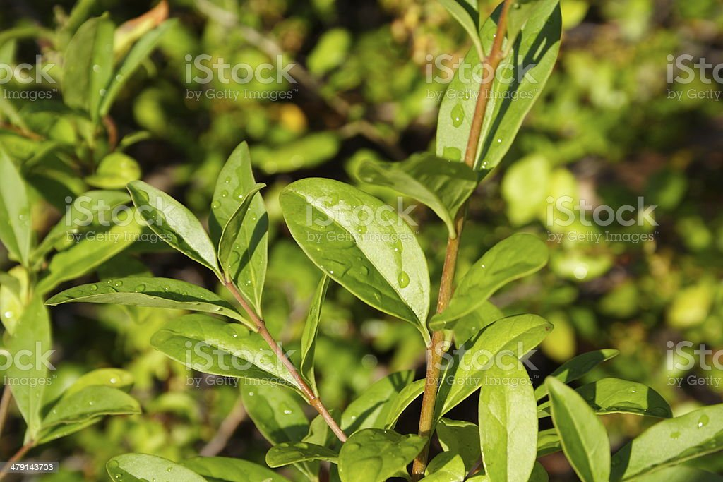 Privet after rain stock photo