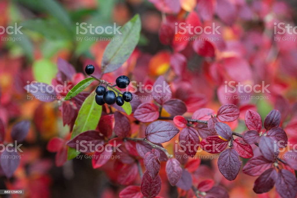 Privet and Barberry in Autumn Colours stock photo