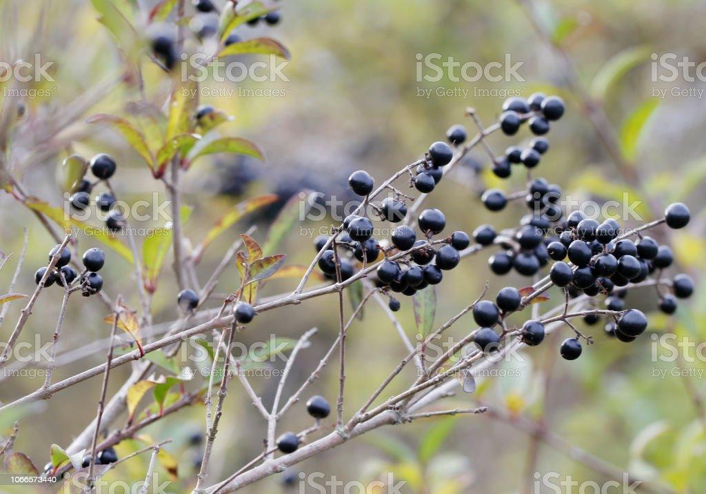 Liguster (wilde liguster) zwarte bessen foto