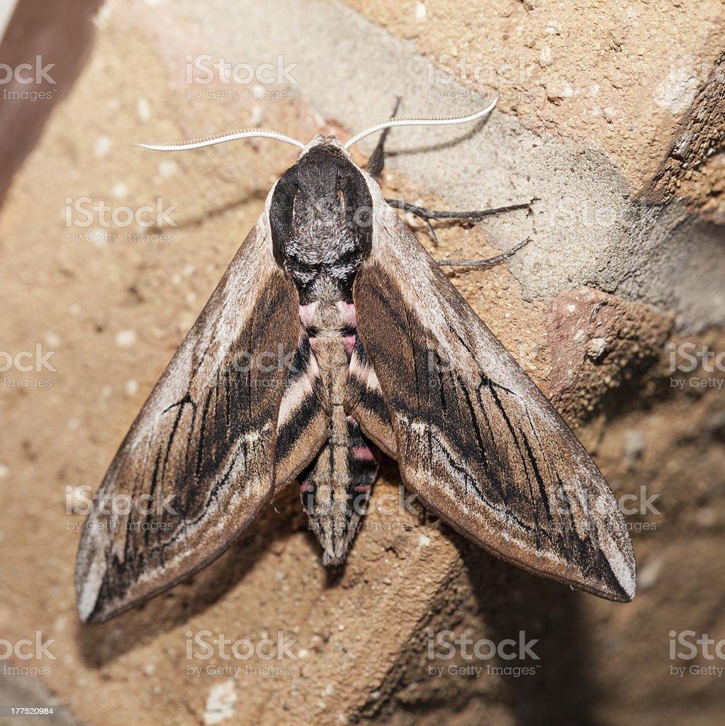 Privet Hawk moth on wall stock photo