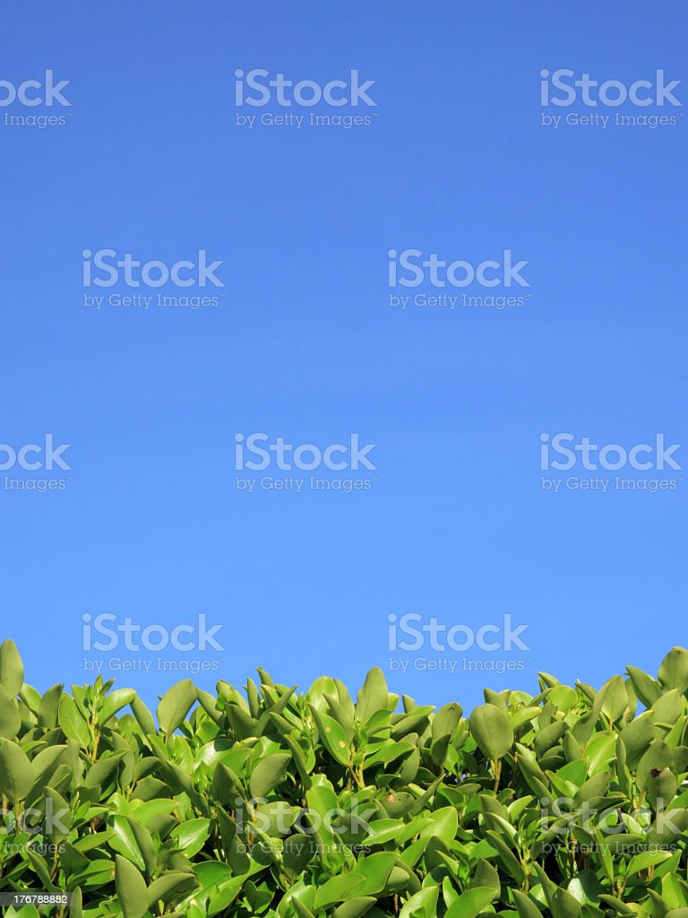 Privet Hedge And Blue Sky Background stock photo