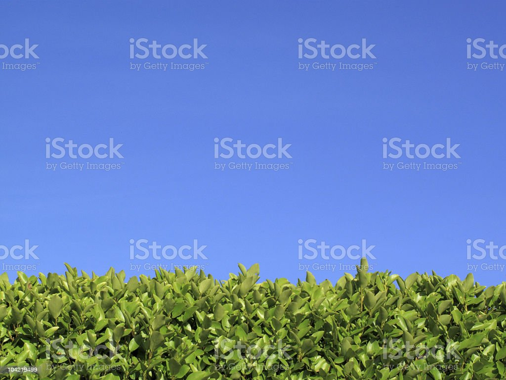 Privet Hedge And Blue Sky stock photo