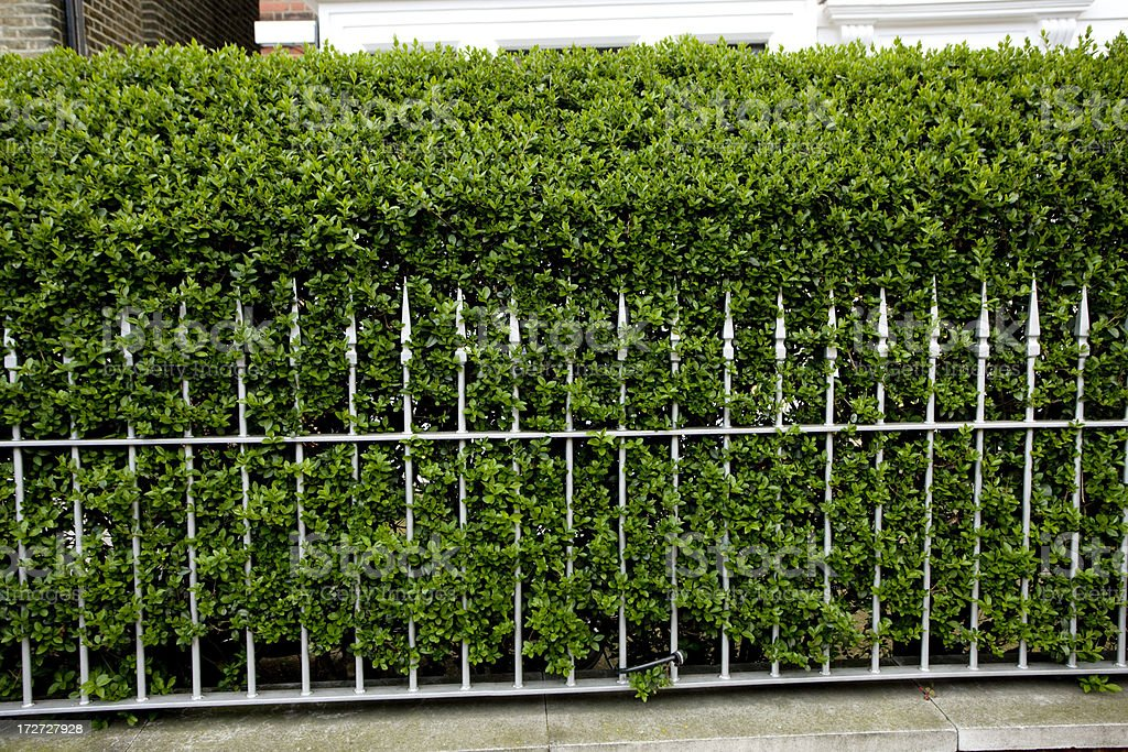 Privet hedge & railing