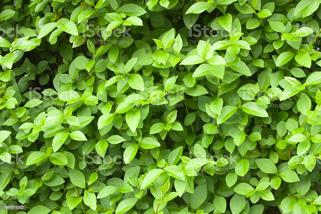 privet hedge stock photo