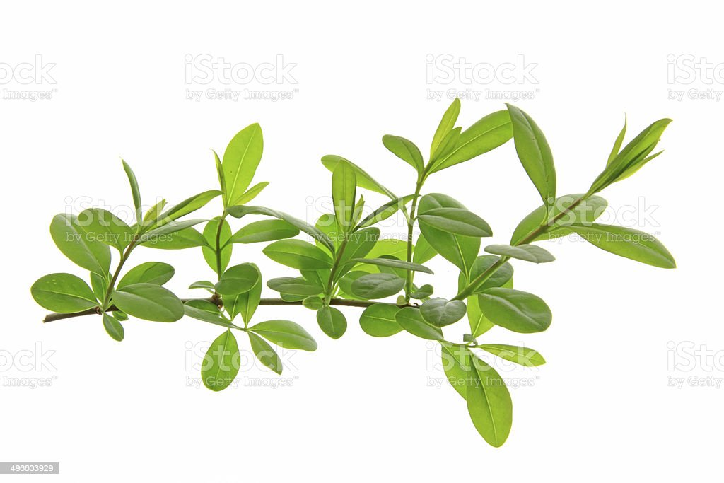 Privet (Ligustrum vulgare) stock photo