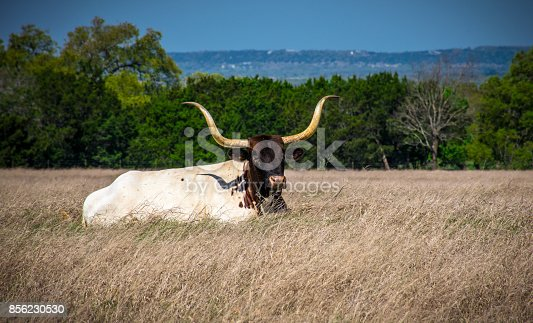 585090418istockphoto Prize Winning Longhorn laying in Tall Grass in the Texas Hill Country Side 856230530