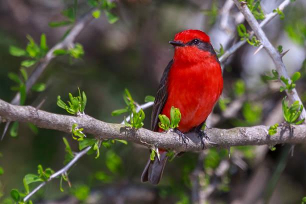 Príncipe - Zinnober Flycatcher - Pyrocephalus Rubinus - Porto Alegre – Foto