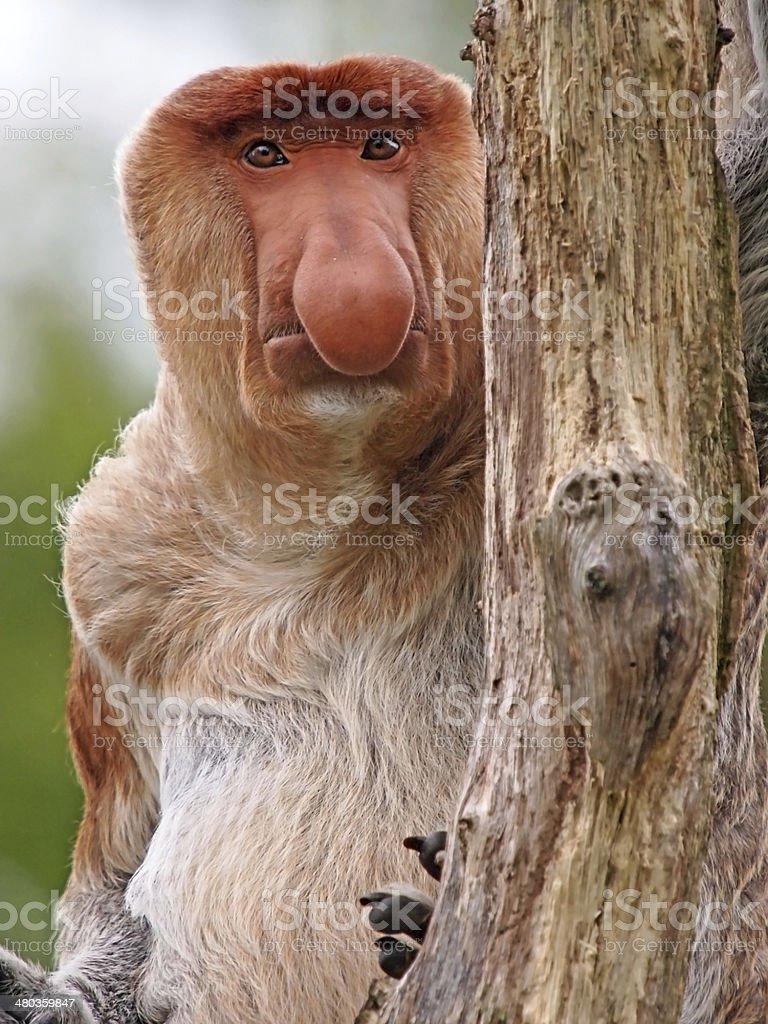 Probescis Monkey stock photo