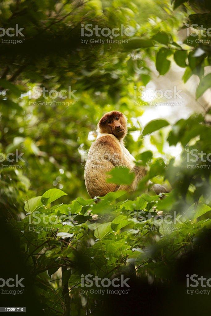 probiscis monkey royalty-free stock photo