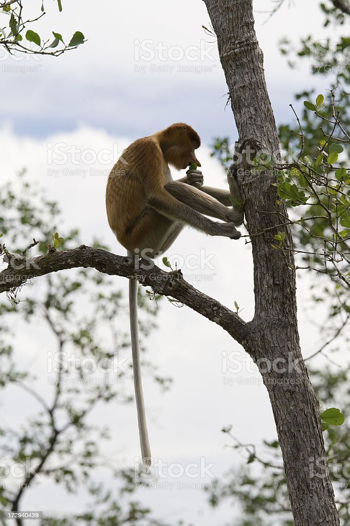 Proboscis monkey eating royalty-free stock photo