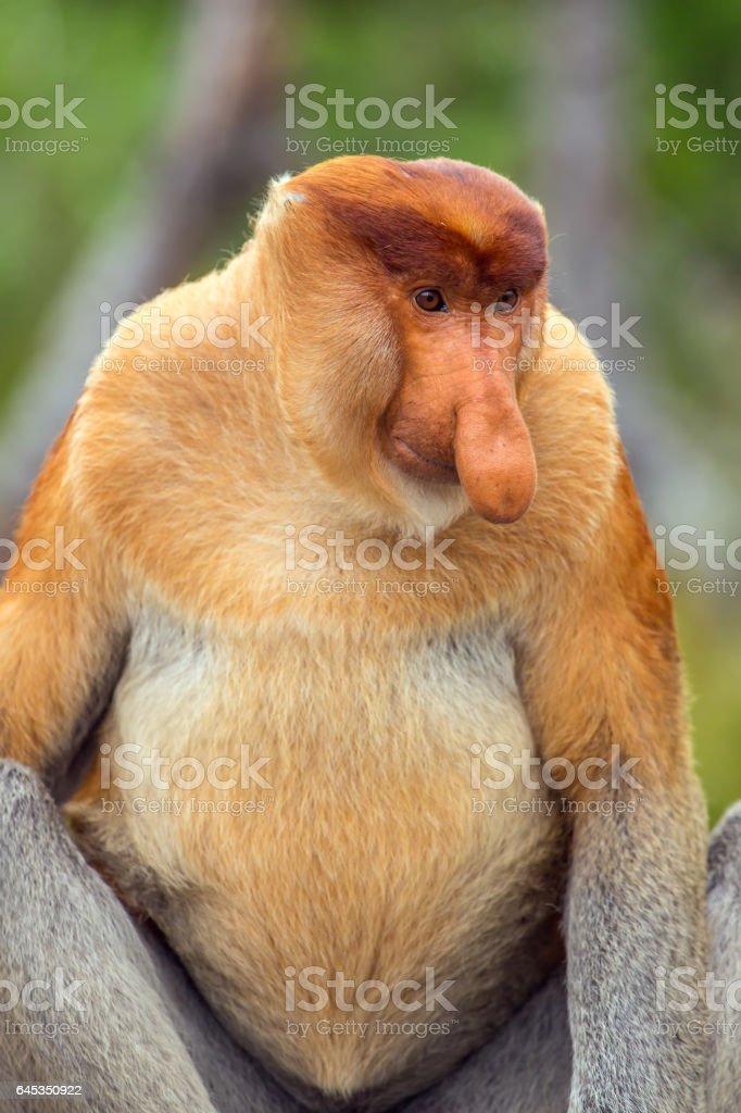 Proboscis Monkey (Nasalis larvatus) endemic of Borneo stock photo