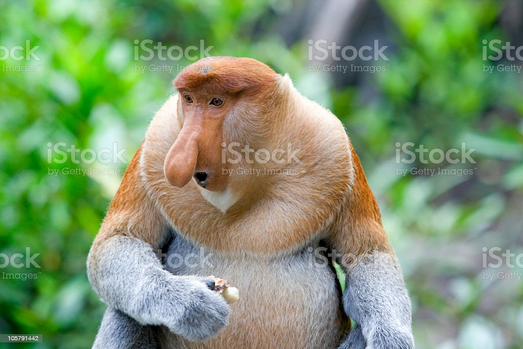 A Proboscis monkey in a lush, exotic forest stock photo