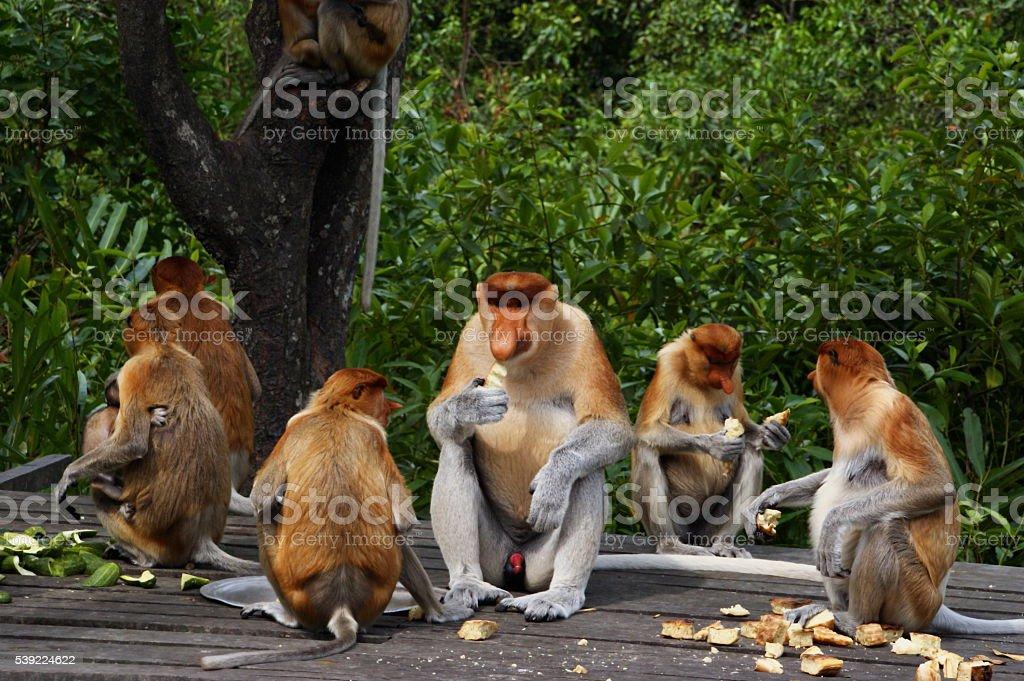 Proboscis monkey (Nasalis larvatus) or long-nosed monkey stock photo