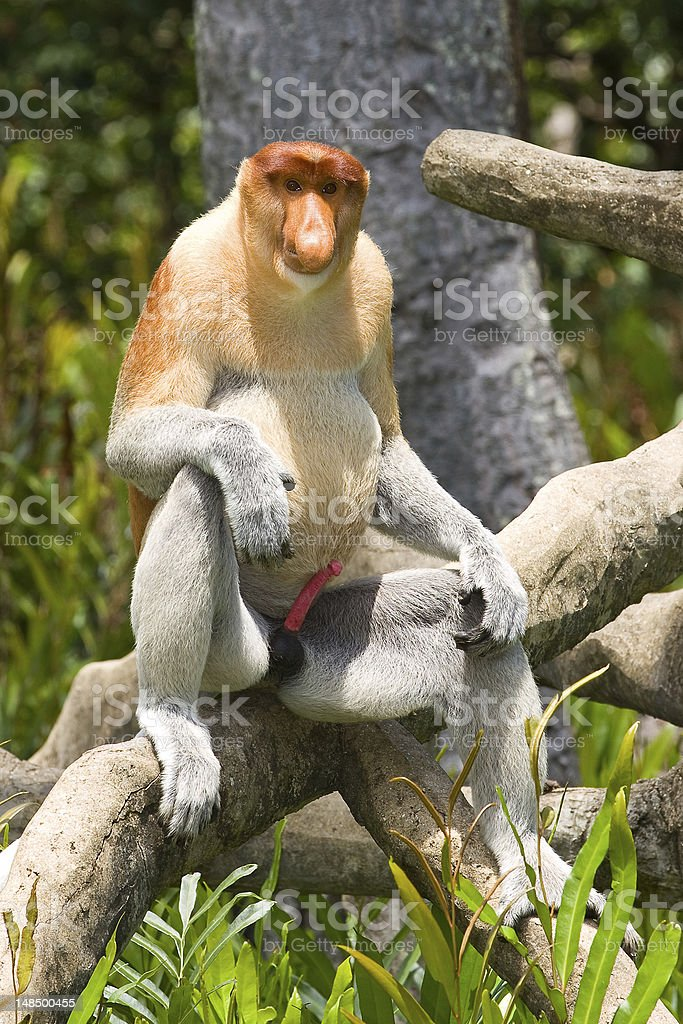 Proboscis monkey royalty-free stock photo