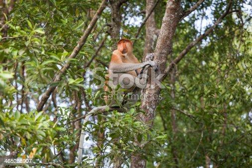 Male proboscis monkey sitting in a tree, Labuk Bay, Borneo.
