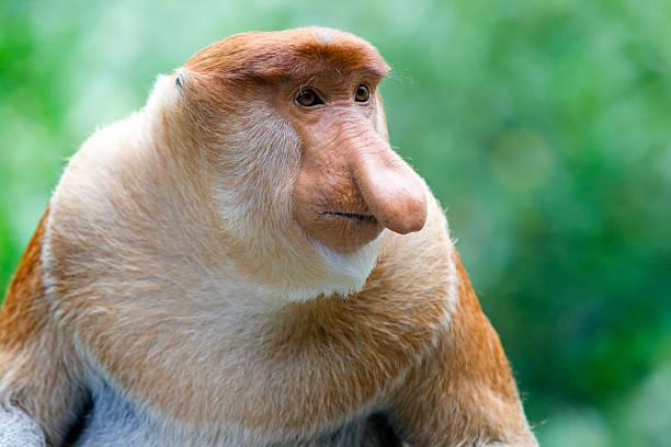 Proboscis monkey  island of borneo stock pictures, royalty-free photos & images