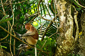 Proboscis monkey sitting on branch. Primate is in rainforest. Mammal is looking away. Bako National Park.