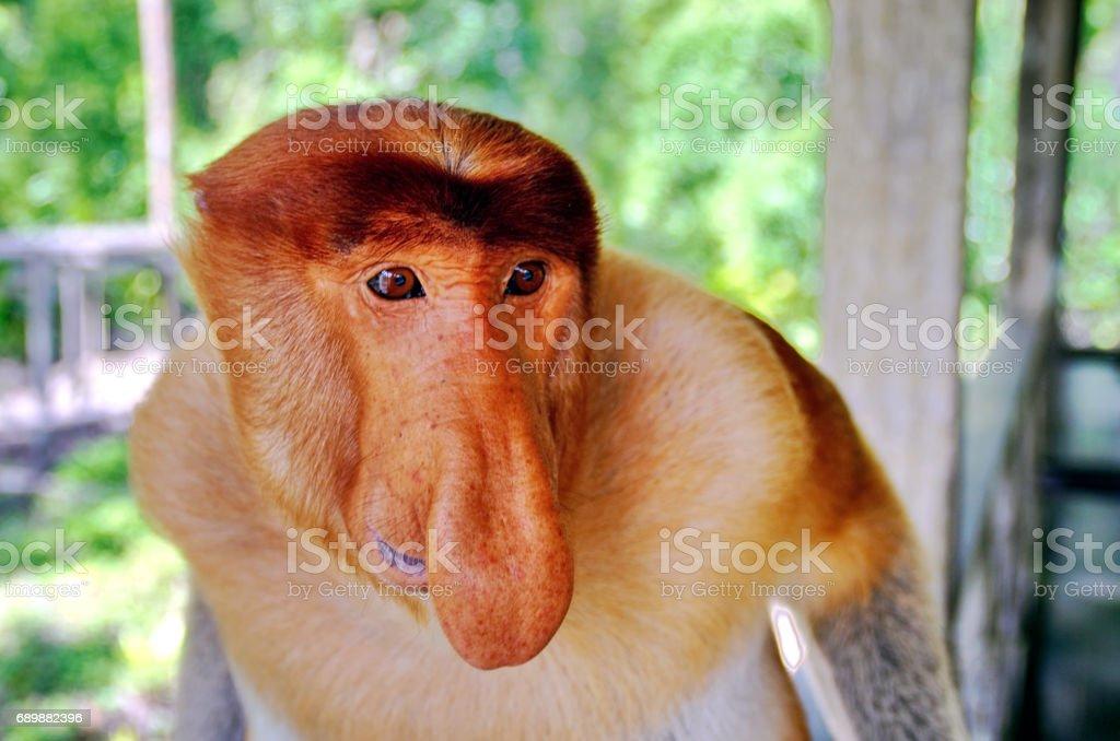 Proboscis monkeys endemic of Borneo island in Malaysia stock photo