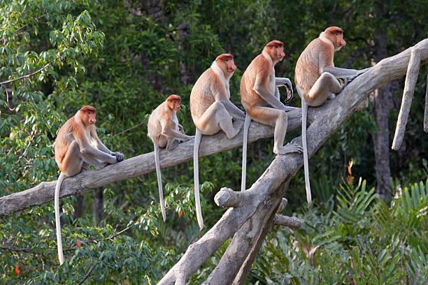 Proboscis monkeys in a row  island of borneo stock pictures, royalty-free photos & images