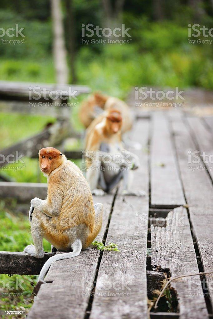 Proboscis monkeys stock photo