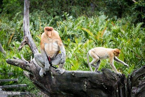 Primer plano de proboscis libres en su hàbitat natural de la selva de Sepilok en Borneo, Malaysia