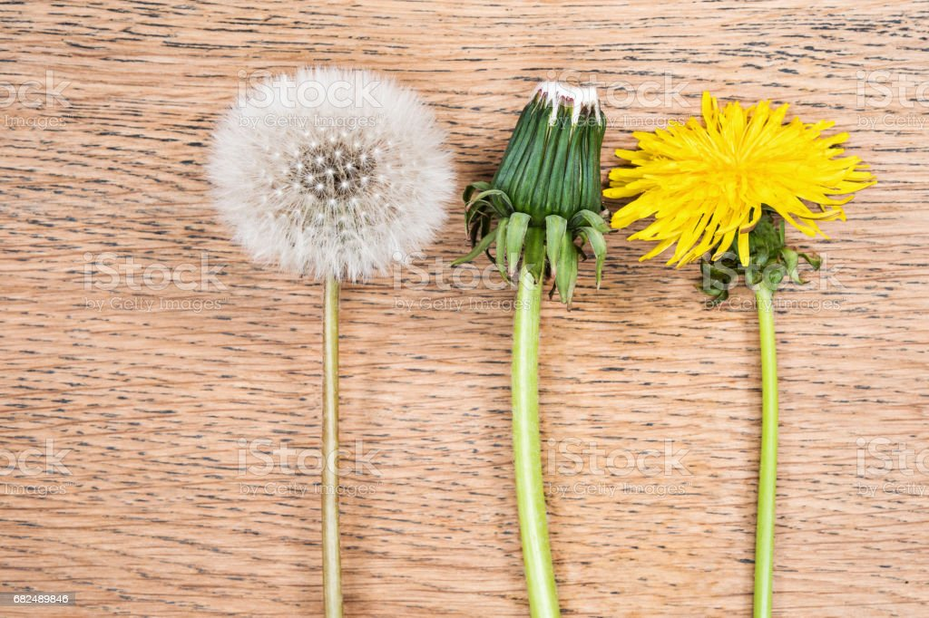 Process of dandelion maturation royalty-free stock photo
