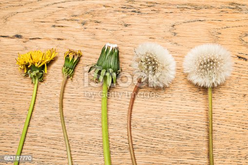 istock Process of dandelion maturation 683187770