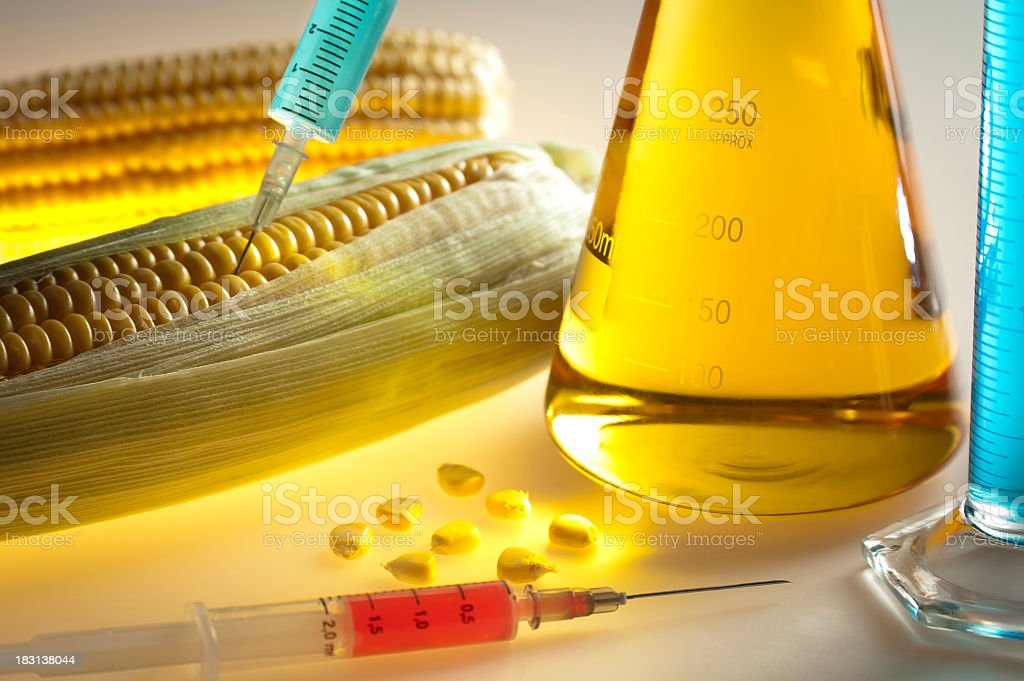 Process of genetically modifying corn on the cob royalty-free stock photo