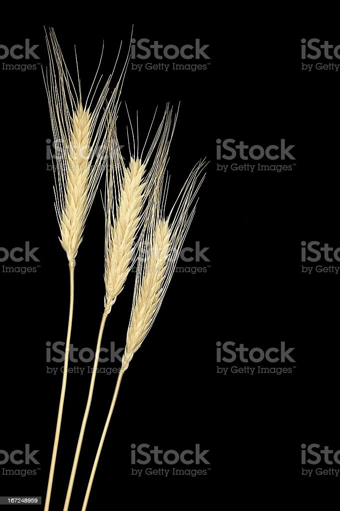 processed cereal cobs royalty-free stock photo