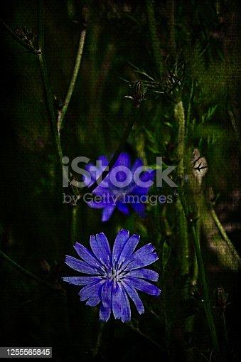 Bavaria, Germany - Processed plants photography. Wild Chicory.