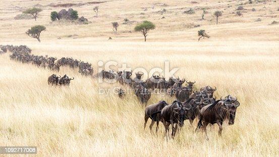 istock Procession of wildebeest through the Masai mara 1092717008