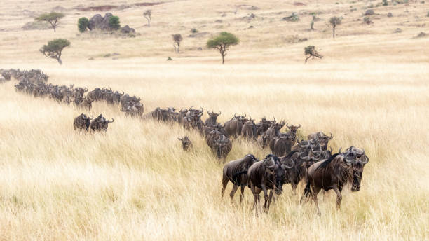 Procession of wildebeest through the Masai mara A long line of white-bearded wildebeest travel through the soft red-oat grass of the Masai Mara during the annual Great Migration. wildebeest running stock pictures, royalty-free photos & images
