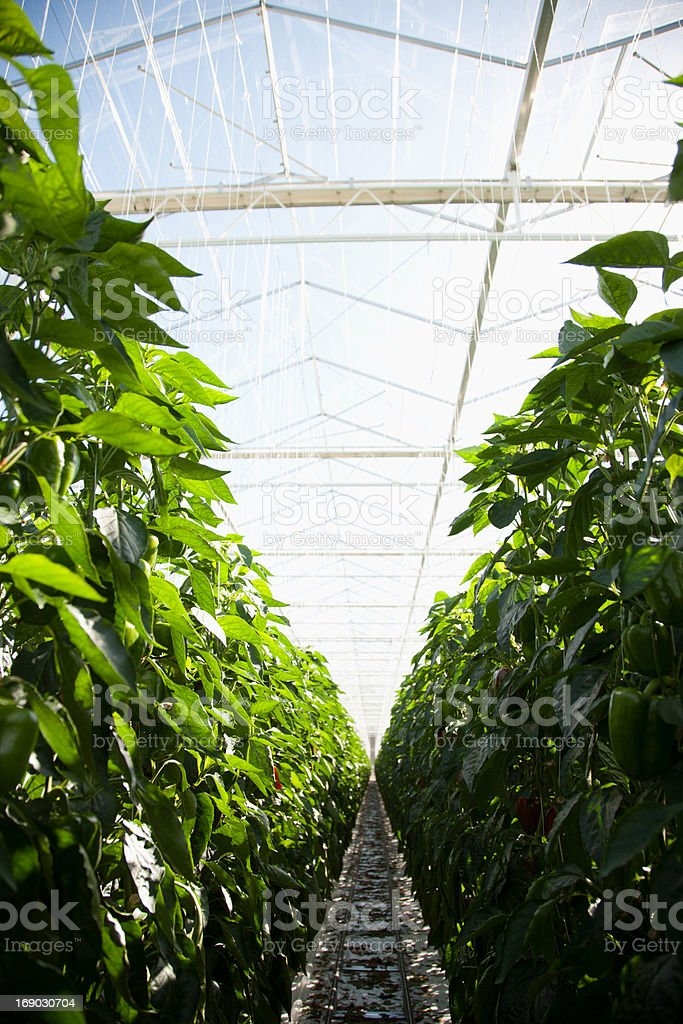 Produce growing in greenhouse royalty-free stock photo