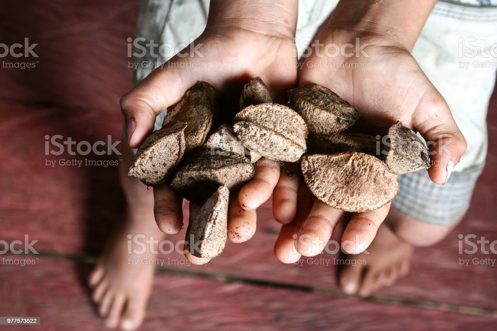 A producer's hand with fresh Brazil nuts in the Amazon. stock photo